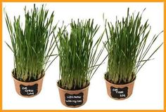 Easy Cat Grass Kit Pack) - Just Add Water. Includes Certified Organic Non GMO Wheatgrass Seed, Fiber Soil, Cups, Chalkboard Labels & Chalk. Your Pets Will Love This.