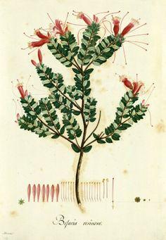 Befaria resinosa. Proyecto de digitalización de los dibujos de la Real Expedición Botánica del Nuevo Reino de Granada (1783-1816), dirigida por José Celestino Mutis: www.rjb.csic.es/icones/mutis. Real Jardín Botánico-CSIC.