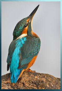 Swan Pictures, Bird Pictures, Small Birds, Colorful Birds, Pretty Birds, Beautiful Birds, Leonardo Paintings, Kingfisher Bird, Australian Birds