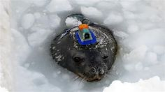 It is late winter in Antarctica now, and the months of darkness will soon be brightening. Antarctica, Photo Library, Three Dimensional, Mammals, Christmas Bulbs, Seals, Gallery, Winter, Darkness