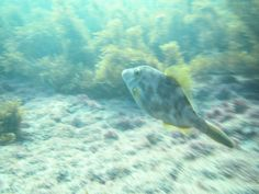 Photo © Moana Matron Designs - A closer look a Goat Island regularly, the New Zealand leatherjacket fish.  You can see how quickly they move through the water by how blurry the background of this picture is!  Photo taken on my Canon Powershot underwater point-and-shoot whilst on a freedive to about 2 metres.  Would highly recommend this snorkel / dive spot to anyone visiting New Zealand.