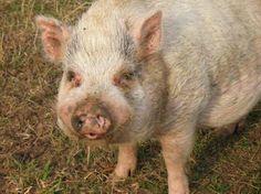 Raymond the pacifist pig | This Dish Is Veg - Vegan, Animal Rights, Eco-friendly News