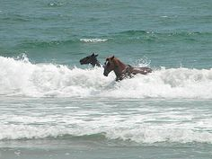 Horses in the Surf. Outer Banks of North Carolina. Corolla, Currituck County