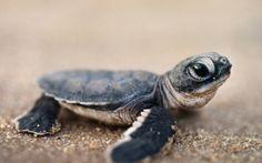baby turtles and tortoises Baby Animals Pictures, Cute Baby Animals, Funny Animals, Wild Animals, Small Animals, Nature Animals, Baby Sea Turtles, Cute Turtles, Turtle Baby