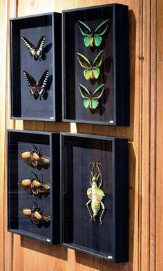 DEYROLLE - Entomologie, vente dinsectes et de papillons