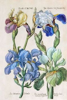 Iris Chamaeiris lati folia tota alba Iris Dalmatica fl caeruleo Iris maiorfrancia Gerulea lineis ornate 1719 by Michael Valentini taken from Viridarium Reformatum seu Reg. Floral Illustration, Illustration Botanique, Illustration Blume, Garden Illustration, Vintage Botanical Illustration, Vintage Botanical Prints, Botanical Drawings, Botanical Flowers, Botanical Art