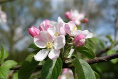 Landgeschichten: Apfelblüte