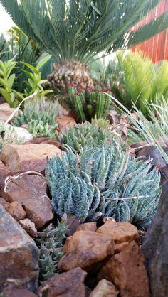 Aloe humilus March 2015