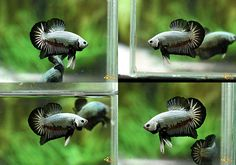 Archived Auction # - -- Male Black Dragon 160701 -- - Ended: Fri Jul 1 2016 Black Dragon, Betta, Auction, Fish, Animals, Animales, Animaux, Pisces, Betta Fish
