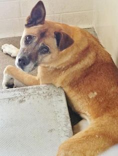 SUPER URGENT!! **SENIOR AT A HGH KILL-SHELTHER***She is a beautiful, gentle lady that is so lost and confused, hoping to see her family walk through those doors. Please SHARE for her precious life, a FOSTER or Adopter would save her. Thanks!  #A4858112 I'm an approx 8 year old female germ shepherd.. I have been at the Carson Animal Care Center since July 21, 2015.