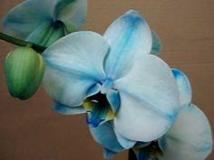 Blue Phalaenopsis - colored