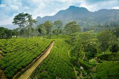 Tea plantations in Sri Lanka - one of my favourite countries in the world!