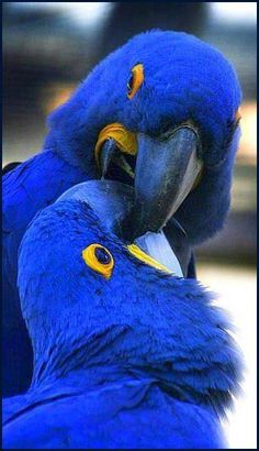 Hyacinth Macaws...   The Hyacinth Macaw  (Anodorhynchus hyacinthinus), or  Hyacinthine Macaw, is a parrot  native to central and eastern  South America.