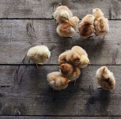 Chickens are SO cute when they're little! Farm Animals, Animals And Pets, Cute Animals, Cute Creatures, Beautiful Creatures, Gato Animal, Funny Animal, Tier Fotos, Baby Chicks