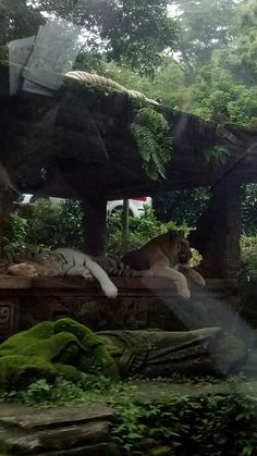 The big cats are sleeping..