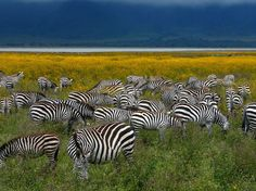 A zeal of Zebras, in the Ngorongoro Crater in Tanzania, June, 2011