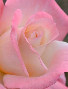 Lovely Pink Rose - Close-Up
