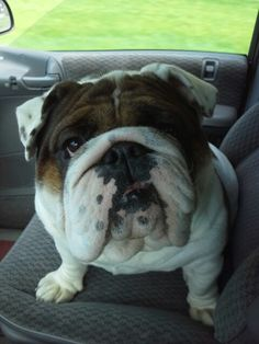 Our English Bulldog, Duke. He's awesome!