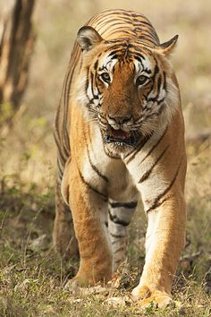 Bengal Tiger. [Majestic and beautiful]