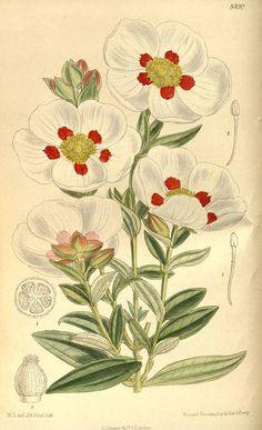 7192 Cistus loretii Rouy & Foucaud / Curtis's Botanical Magazine, vol. 139 [ser. 4, vol. 9]: t. 8490 (1913) [M. Smith]