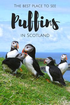 The best spot to see Puffins in Scotland is a tiny island called Lunga. Part of the Treshnish Isles, this gem is home to a colony of 4,500 wild Puffins. Click to find out more.