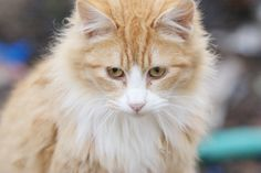 Orange and White Fluffy Cat Orange and White Fluffy Cat