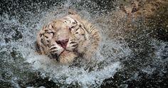 tiger spray water 4k ultra hd wallpaper
