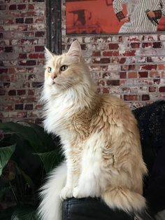 I saw the other maine coon and i just had to show off mine… say hi little one - http://www.mainecoonguide.com/where-to-find-free-maine-coon-kittens/
