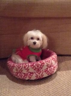 Good Cuby Chubby Adorable Dog - d70e16798b31d5aab3b791abec514745--cutest-dogs-sugar  Collection_131513  .jpg