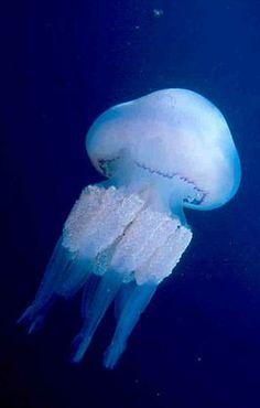 De zeepaddenstoel is de bekendste kwal ter wereld. Hij komt ook in de Noordzee…