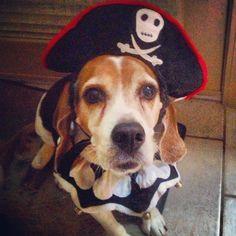 Halloween Pirate Beagle!