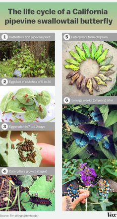 How one man repopulated a rare butterfly species in his backyard  Updated by Zachary Crockett on July 6, 2016, 1:10 p.m