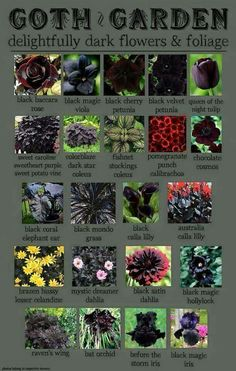 and Amazing Or we could just call it dark foliage plants! A collection of potential plants.Or we could just call it dark foliage plants! A collection of potential plants. Potato Vines, Gothic Garden, Witchy Garden, Dark Flowers, Gothic Flowers, Beautiful Flowers, Shade Flowers, Yellow Flowers, Gorgeous Gorgeous