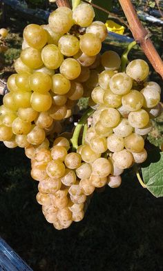 Crisp, spicy with a floral aroma - Traminette, soon to become our Goldie dessert wine.
