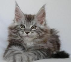 Karmacoons Caspian, 9 weeks old. Silver Tabby Maine Coon Kitten. http://www.mainecoonguide.com/maine-coon-personality-traits/