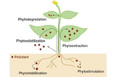 Phytoremediation with Hemp  Phytoremediation is the environmentally friendly science of using plants and trees to remove heavy metals and other toxins from contaminated soil. By planting specific plants and trees, called hyper-accumulators, in polluted areas, the contaminants can be reduced.
