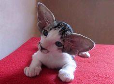Look at those Ears!!! Devon Rex kitten!