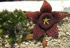 Stapelia Cactus, Planting Succulents, Succulent Plants, Exotic Plants, Calendula, Fruit, Wall Trellis, Seeds, Plants