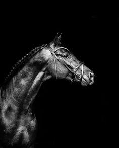 Davrol Dancecard....playing with black and white on black. #toowoombaphotographer #warmbloods #printsofhorses #warmbloodsofinstagram #equineprints #equestrian #equineart #equinephotographer #horsesofinstagram #interiorart #interiordesign