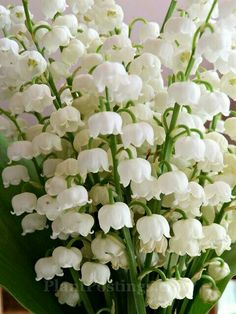 lily of valley 3 Exotic Flowers, Amazing Flowers, White Flowers, Beautiful Flowers, White Gardens, Gras, Lily Of The Valley, Daffodils, Horticulture