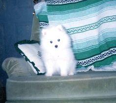 "My White Pom ""Kimba""  A Puppy Pic ;)  *dansuehath"