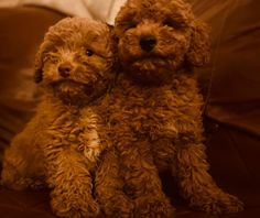 Adorably Toy Poodle Puppies for sale in kuwait White Pomeranian Puppies, Poodle Puppies For Sale, Little Puppies, Cute Puppies, Dogs And Puppies, Rottweiler Puppies For Sale, Goldendoodle Puppy For Sale, Shih Tzu Puppy, Beagle Puppy