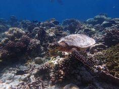 Tortuga excursión Tiburon Ballena Malidivas
