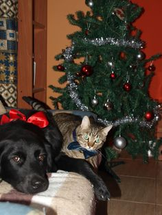 #Tom #BigBrother #Cat #Freya #Dog #Puppy # #LoveAnimals #CanaryIsland #Winter #MerryChristmas #GoldenRetriever #BlackGolden #BlackDog #MyMonster #Puppy #Pet #HappyChristmas2015/2016 #Christmas #NewYear #MyMonsters
