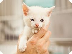 ADOPTED!!! Meet Conrad - Betty's kitten, a male kitten for adoption at East Lake Pet Orphanage (#ELPO).