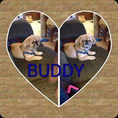 Meet Buddy! 7 year old #Pekingese would love a 4ever home with no kids or dog savvy kids 10+ http://angelsoffur.com