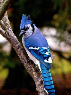 Colorful Birds The Regal Blue Jay Bird Pet