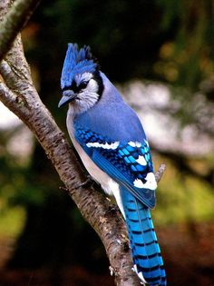 Colorful Birds - The regal Blue Jay.