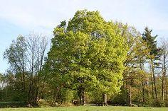 Acer campestre-Feldahorn