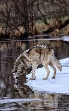 I'm Your Mom Now - Wolf bilder - Perros Wolf Photos, Wolf Pictures, The Animals, Nature Animals, Wolf Spirit, My Spirit Animal, Beautiful Creatures, Animals Beautiful, Tier Wolf